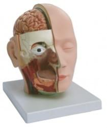 Head, Brain and Nervous system