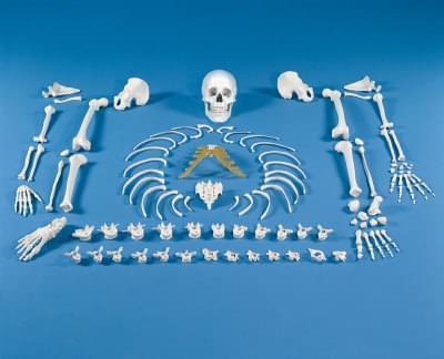 3020 - Skeleton, unassembled (bone collection)