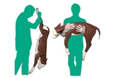 Calf Dystocia Model