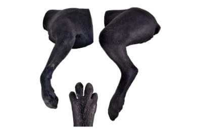 Canine Bandaging Limbs