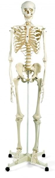 A10 - Human Skeleton Model Stan, on pelvic mounted 5 foot roller stand