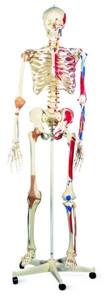 A13 - Super Skeleton Sam, on 5 feet roller stand