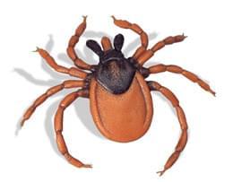 Castor-bean tick (Ixodes ricinus)