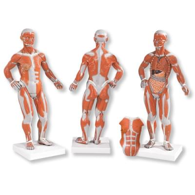 B59 - 1/4 Life-Size Muscle Figure, 2-part