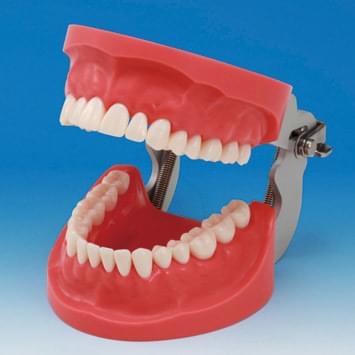 Prosthetic Restoration Jaw Model (32 teeth)