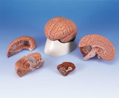 C16 - Brain model