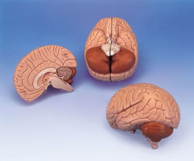 C15 - Brain model