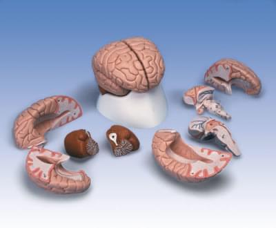 C17 - Brain Model