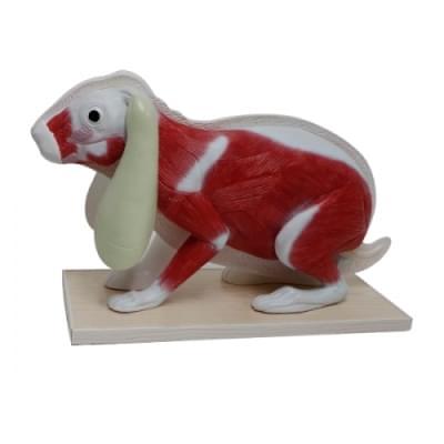 Rabbit Model