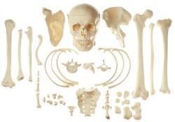 Bones and parts of skeleton
