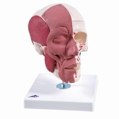 Lebka s obličejovými svaly