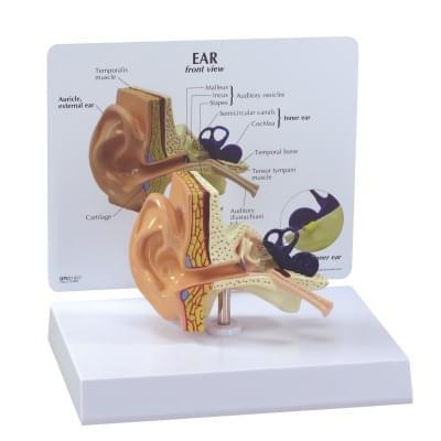 1019526 - Ear Model