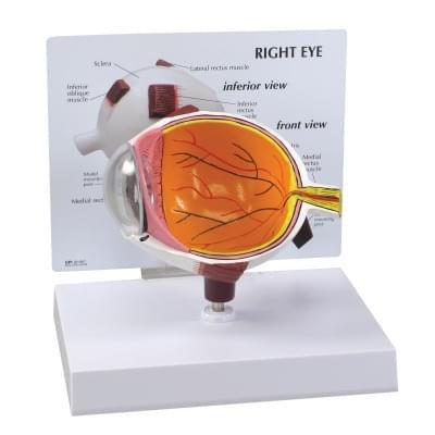 1019533 - Eye Model