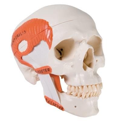 TMJ model lidské lebky se žvýkacími svaly, 2 části