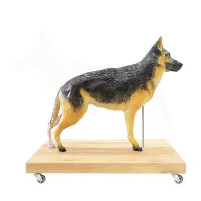 M01574 - Educational Dog Model, 11 parts, 2/3 natural size