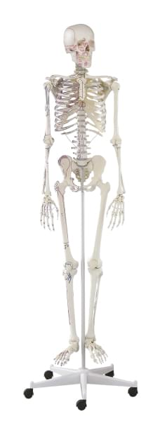 3008 - Skeleton with muscle marking Arnold