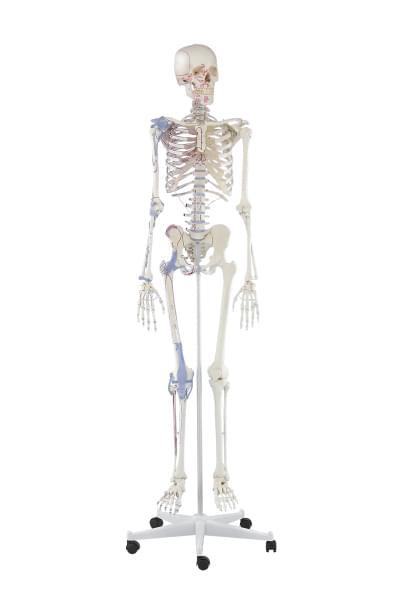 3010 - Skeleton Bert, muscle marking, ligaments