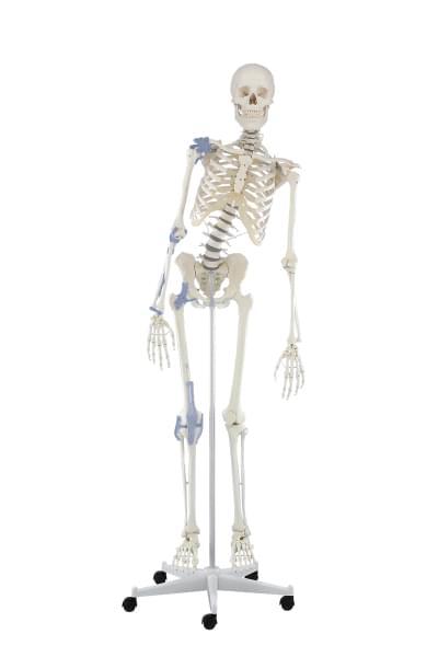 3013 - Skeleton Toni, movable, ligaments