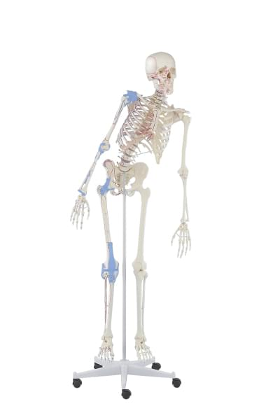 3016 - Skeleton Max, movable, muscle marking, ligaments