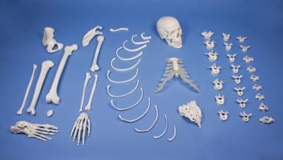 3024 - Half skeleton, unassembled (bone collection)
