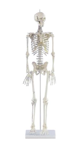 3035 - Miniature Skeleton Daniel with muscle markings
