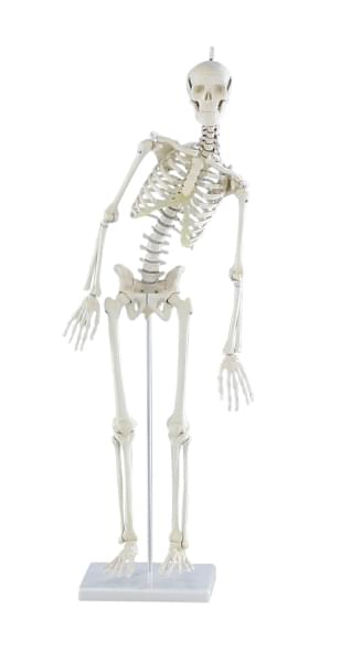 3040 - Miniature-Skeleton Paul, with moveable spine
