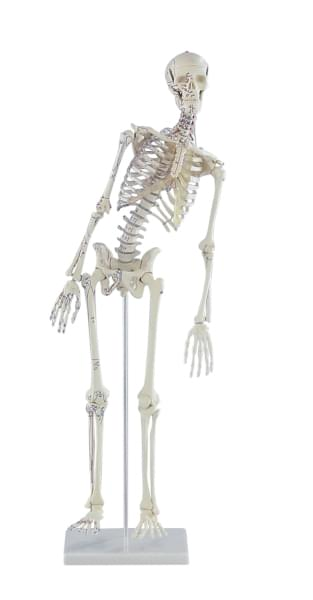 3045 - Miniature-Skeleton Fred, with moveable spine and muscle mark