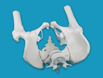 4057 - Male pelvis with sacrum, 2 lumbar vertebrae and femoral stumps