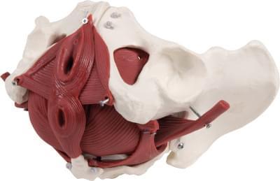 4075 - Female pelvic floor model