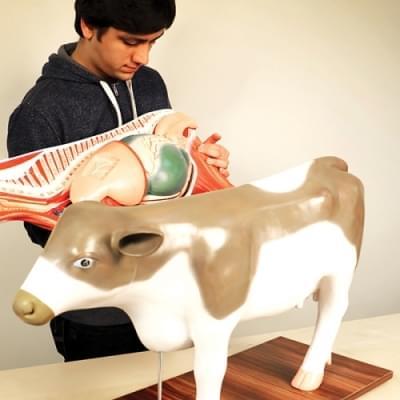 Model krávy