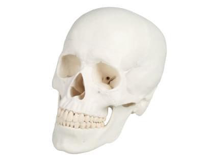 4500 - Model skull, 3-part