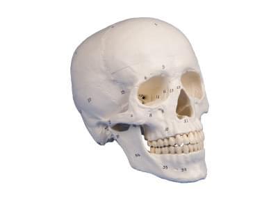 4505 - Model skull, 3-part, numbered