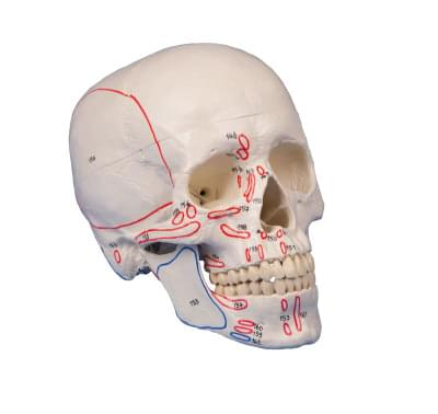 4509 - Model skull, 3-part, with muscle marking