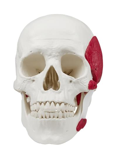 4512 - Skull with masticatory muscles
