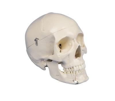 4513 - Dental skull, 4-part