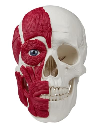4514 - Skull with musculature