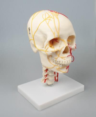 4516 - Neurovascular Skull