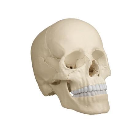 4701 - 18 part skull, detachable