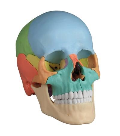 4708 - 22 part skull, detachable