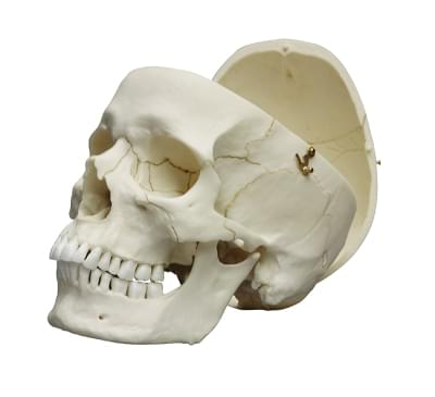 4710 - Adult skull, male