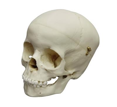 4730 - Child Skull, 5 year old