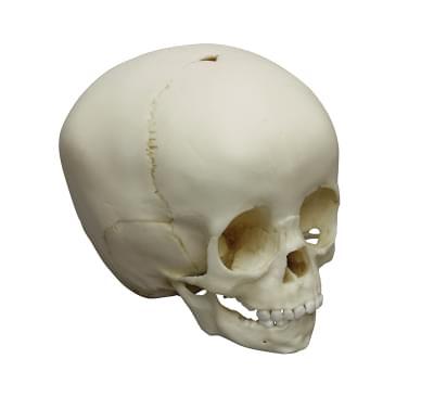 4775 - Child skull, 1  1/2  year old