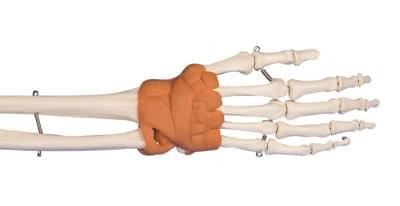 6010 - Hand and Wrist Model