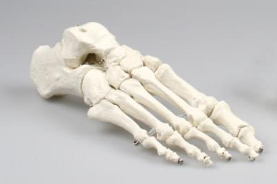 6050 - Skeleton of foot