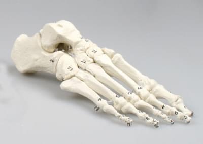 6051 - Skeleton of foot, numbered