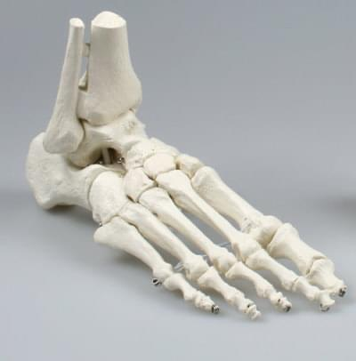6053 - Skeleton of foot with tibia and fibula insertion