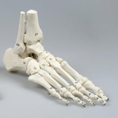 6054 - Skeleton of foot with tibia and fibula insertion, numbered