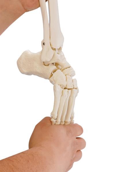 6069 - Skeleton of leg with half pelvis and flexible foot