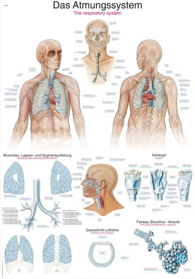AL116 - Chart The respiratory system