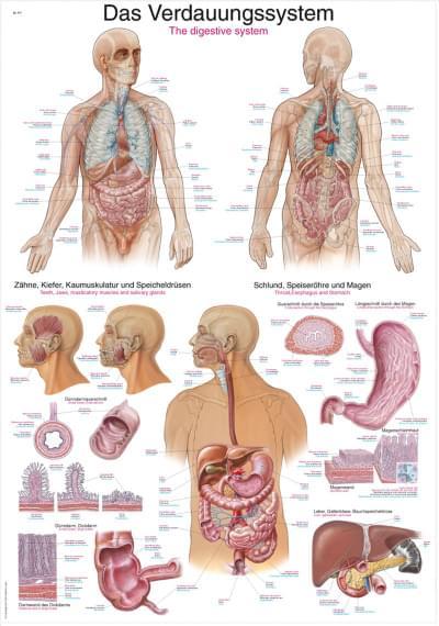 AL117 - Chart The digestive system